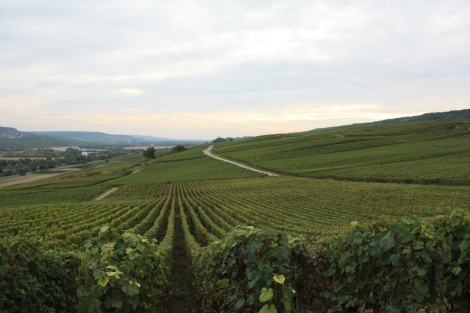 Vines below Oeuilly, Champagne