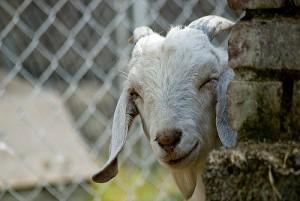 winking goat